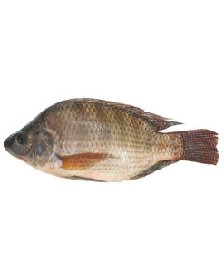 tilapia-wholesale-agro-expedition-international